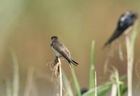 갈색제비(Riparia riparia) (Bank Swallow(Sand Martin))
