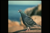 : Columba livia; Rock Dove