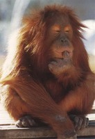 photograph of a philosophical orang-utan