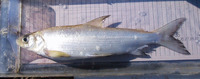 Coregonus lavaretus, Common whitefish: fisheries, aquaculture, gamefish