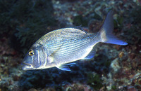 Dentex dentex, Common dentex: fisheries, aquaculture, gamefish