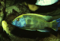 Nimbochromis venustus, : fisheries, aquarium
