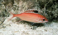 Sargocentron coruscum, Reef squirrelfish: