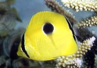 Chaetodon unimaculatus, Teardrop butterflyfish: fisheries, aquarium