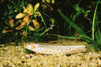 Lepidocephalus thermalis, Common spiny loach: aquarium