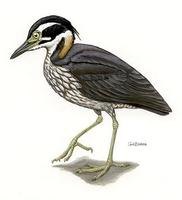Image of: Gorsachius magnificus (white-eared night heron)