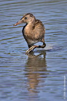 Image of: Rallus longirostris (clapper rail)