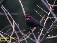 Dark-breasted Rosefinch - Carpodacus nipalensis