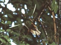 Wallace's Standardwing - Semioptera wallacii