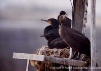 Cape Cormorant - Phalacrocorax capensis
