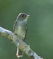 Eastern Wood-Pewee (Contopus virens) photo