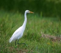 Intermediate Egret (Egretta intermedia) photo