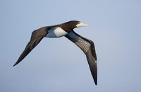 Brown Booby (Sula leucogaster) photo