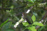 Long-billed Starthroat - Heliomaster longirostris