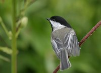 Black-capped Chickadee - Poecile atricapilla