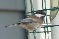 Chestnut-backed Chickadee - Poecile rufescens