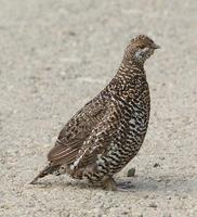 Spruce Grouse Hen