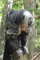 Black and white and looking bald - Monk Saki Monkey