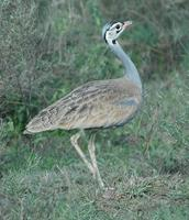 White-bellied Bustard p.116