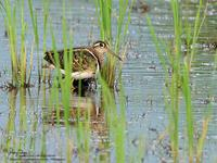 Greater Painted-Snipe(Male)