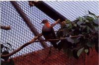 Superb Fruit Dove Ptilinopus superbus