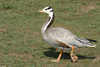 : Anser indicus; Bar-headed Goose