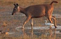 Image of: Rusa unicolor (sambar), Bubulcus ibis (cattle egret)