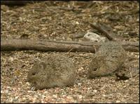 Image of: Sigmodon hispidus (hispid cotton rat)