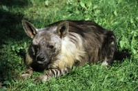 Parahyaena brunnea - Brown Hyena