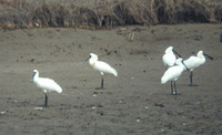 Black-faced Spoonbill - Platalea minor