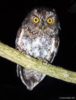 Bearded Screech-Owl - Megascops barbarus
