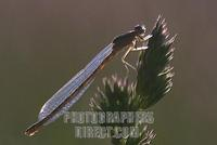 Female White legged damselfly ( Platycnemididae ) stock photo