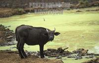Buffalo drinking , Syncerus caffer caffer , Mount Kenya National Park , Kenya stock photo