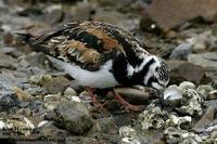 Arenaria interpres , 꼬까도요 - Ruddy Turnstone