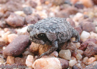 : Breviceps acutirostris; Strawberry Rain Frog