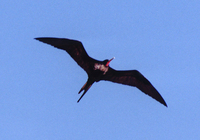 : Fregata minor palmerstoni; Great Frigatebird Male