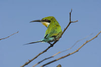 : Merops hirundineus; Swallow Tailed Bee-eater