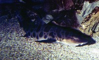 Triakis semifasciata, Leopard shark: fisheries, gamefish, aquarium