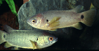 Anabas cobojius, Gangetic koi: fisheries