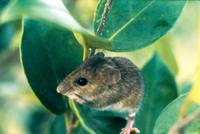 Image of: Reithrodontomys fulvescens (fulvous harvest mouse)