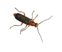 Image of: Cantharidae (soldier beetles)