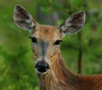 Image of: Odocoileus virginianus (white-tailed deer), Tabanidae (deer flies)