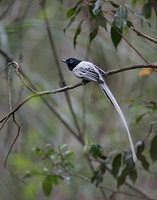 Madagascar Paradise-Flycatcher (Terpsiphone mutata) photo