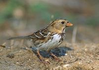 Harris's Sparrow (Zonotrichia querula) photo