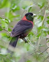 Crimson-collared Grosbeak (Rhodothraupis celaeno) photo