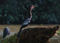 Anhinga and Blue Heron