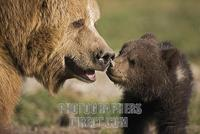 European Brown Bear mother with cub ( Ursus arctos ) stock photo