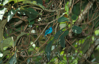 : Dacnis cayana; Blue Dacnis