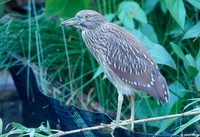 : Nycticorax violaceus; Yellow-Crowned Night Heron (immature)