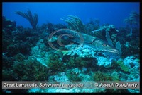 : Sphyraena barracuda; Great Barracuda